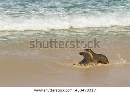 Australian Sea Lions playing with sea water at Seal Bay, Sea lion colony on south coast of Kangaroo Island, South Australia - stock photo