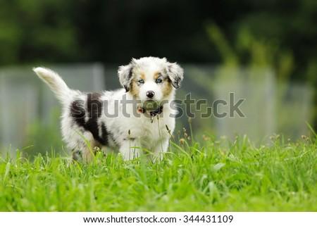 australian sheepdog, puppy - stock photo