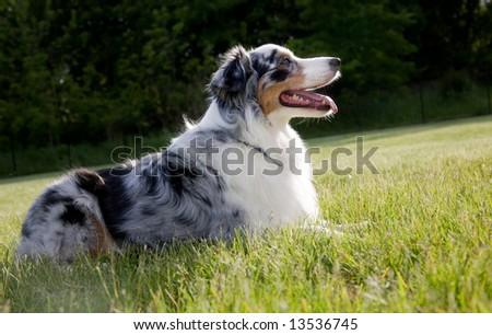 Australian Shepard lying down on the back yard lawn enjoying a beautiful day. - stock photo