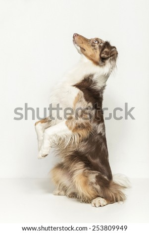 Australian Shepard photographed in studio against a white background - stock photo