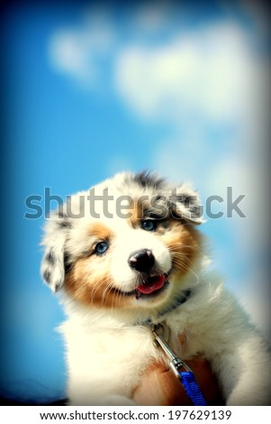 Australian Shepherd - stock photo