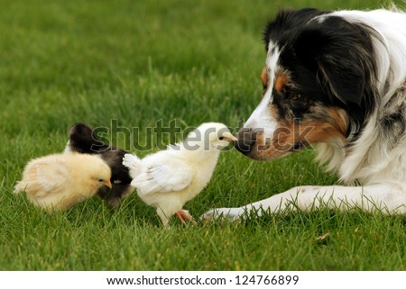 Australian Shepherd and Chick A herding dog being very gentle with baby chicks - stock photo
