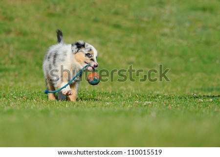 Australian Shepherd aussie puppy playing with toy as ball on rope in the garden - stock photo