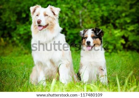 australian shepherd dog and puppy - stock photo