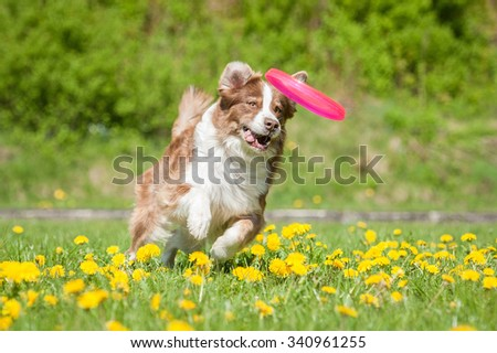 Australian shepherd dog catching a disc - stock photo