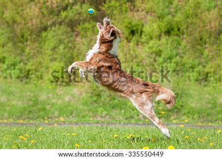Australian shepherd dog catching ball in the air - stock photo