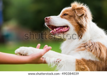 Australian Shepherd dog gives a girl the paw