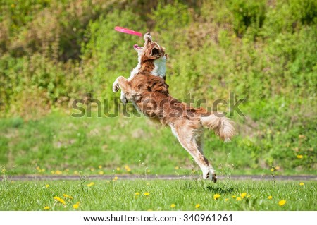Australian shepherd dog jumps in the air to catch a disc - stock photo