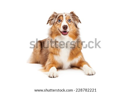 Australian Shepherd Dog laying with outstretched paws while looking forward.