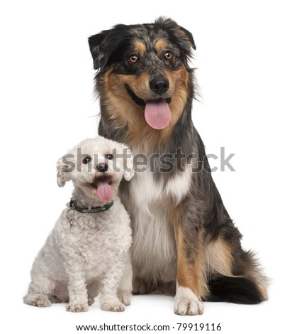 Australian Shepherd dog, 17 months old, and Bichon Frise, 8 years old, sitting in front of white background - stock photo