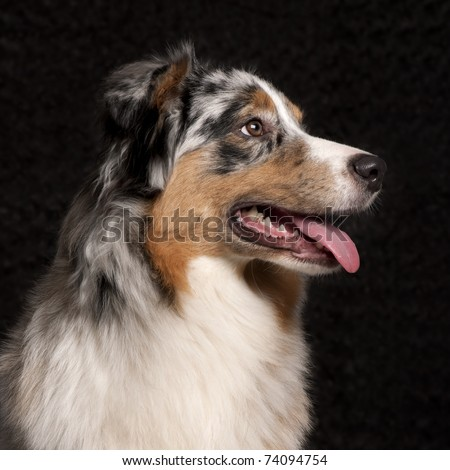 Australian Shepherd dog, 10 months old, in front of black background - stock photo