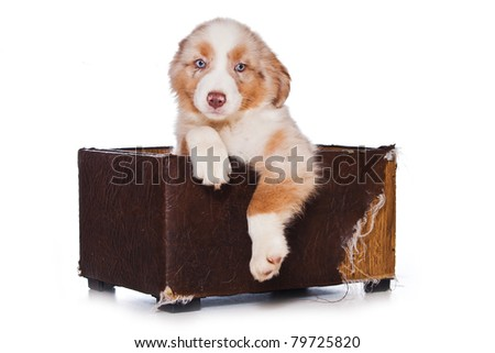 Australian Shepherd dog on white
