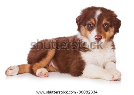 Australian Shepherd dog on white - stock photo