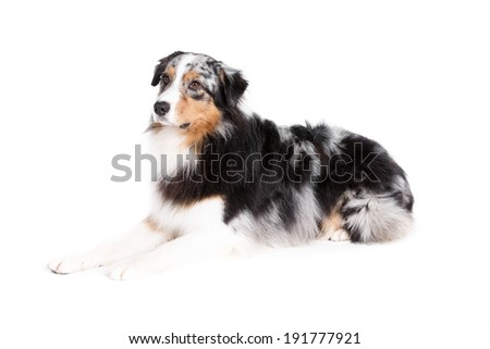 Australian Shepherd dog on white background
