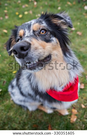 Australian Shepherd dog playing outside in the leaves