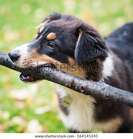 Australian Shepherd dog portrait outdoors playing with stick.  - stock photo