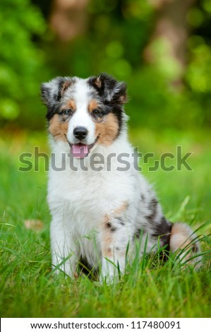 australian shepherd dog puppy - stock photo