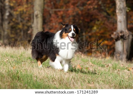 Australian Shepherd dog running through a meadow - stock photo