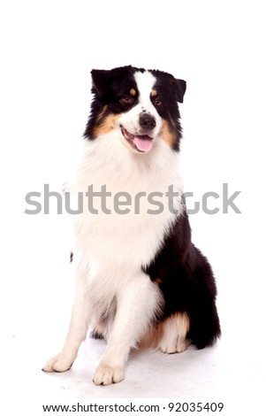 Australian Shepherd dog sitting down looking away from the camera with a smile