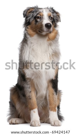 Australian Shepherd dog sitting in front of white background - stock photo