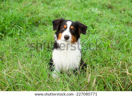 Australian shepherd dog sitting in grass - stock photo