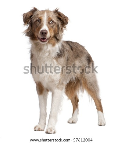 Australian Shepherd dog standing in front of a white background - stock photo