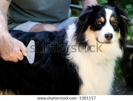 Australian Shepherd gets brushed. - stock photo