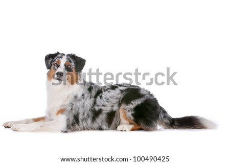 Australian shepherd in front of a white background - stock photo