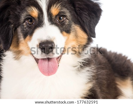 australian shepherd isolated on white background