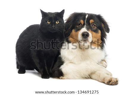 Australian Shepherd lying next to a Black Cat, isolated on white