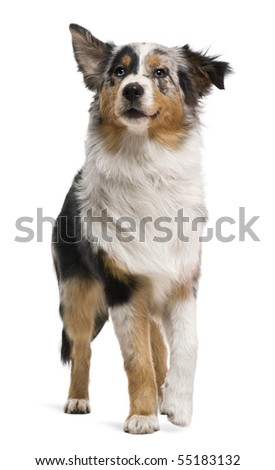 Australian shepherd, 6 months old, in front of white background - stock photo