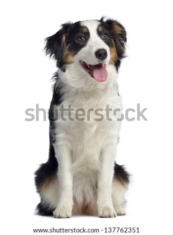 Australian Shepherd, 8 months old, sitting and panting, isolated on white - stock photo