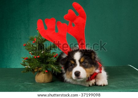 Australian Shepherd pup with festive headgear and red bow on green background - stock photo