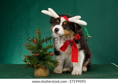 Australian Shepherd pup with festive headgear, christmas tree and red bow on green background