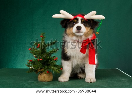 Australian Shepherd pup with festive headgear, red bow and tree, on green background