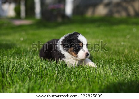 Australian Shepherd puppies outdoors