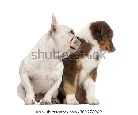 Australian shepherd puppy and french bulldog sitting and looking away, isolated on white