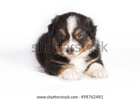 Australian Shepherd puppy in studio