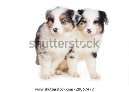 Australian Shepherd puppy isolated on white - stock photo