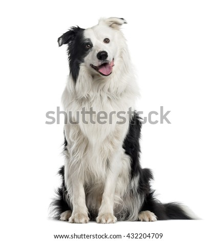 Australian Shepherd puppy looking at the camera and sitting, isolated on white - stock photo