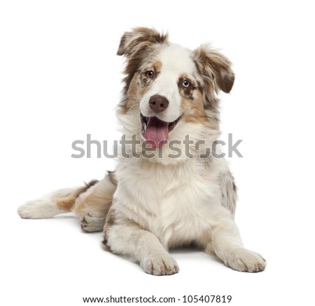 Australian Shepherd puppy, 6 months old, portrait against white background - stock photo