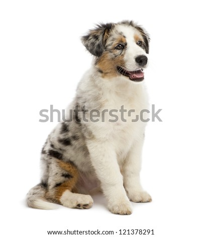 Australian Shepherd puppy, 3 months old, sitting and looking away against white background - stock photo