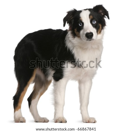 Australian Shepherd puppy, 5 months old, standing in front of white background - stock photo