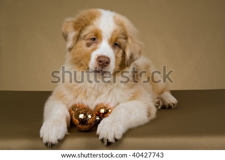 Australian Shepherd puppy on bronze khaki background fabric with Christmas decorations