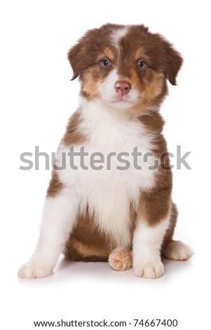 Australian Shepherd puppy on white - stock photo