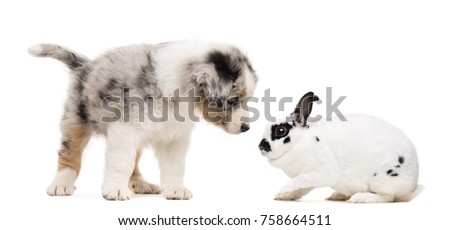 Australian Shepherd puppy playing and looking at a Dalmatian rabbit, against white background