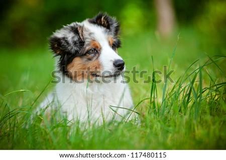 australian shepherd puppy portrait - stock photo