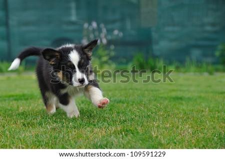 Australian Shepherd puppy running on the green grass - stock photo