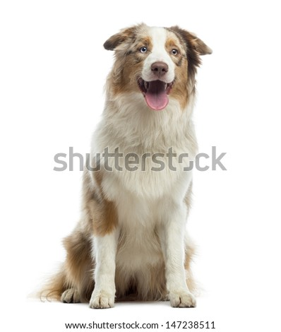 Australian Shepherd puppy, sitting and panting, 10 months old, isolated on white
