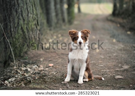 Australian Shepherd Puppy Sitting On Forest Way, Shallow Depth Of Field. - stock photo